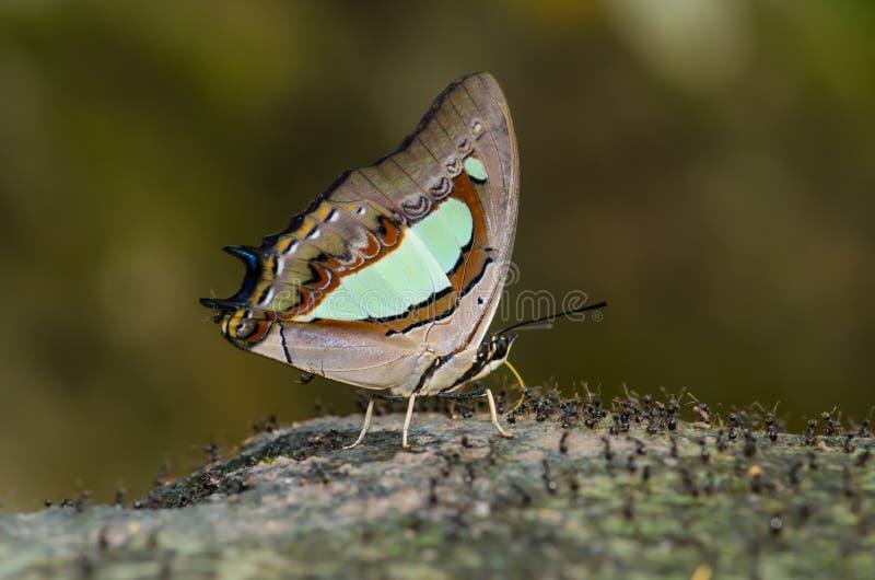 蝴蝶说出名字的Common Nawab 库存照片