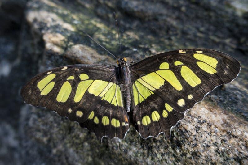蝴蝶绿沸铜蝴蝶,关闭 免版税库存图片