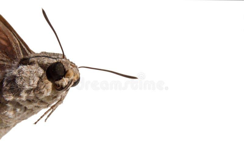 蝴蝶头特写镜头有毛茸的身体的和部分地翼是 免版税图库摄影