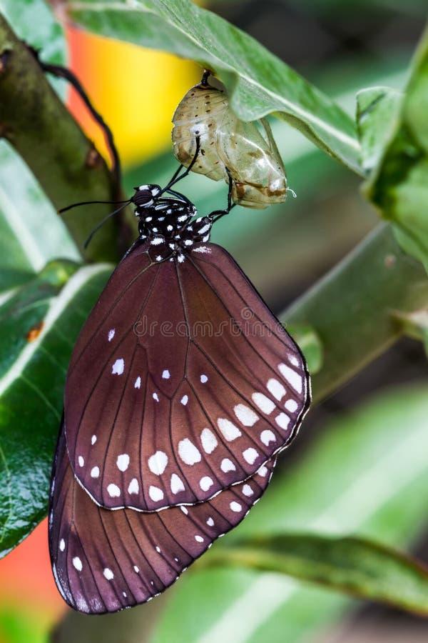 蝴蝶从茧涌现了。 免版税图库摄影