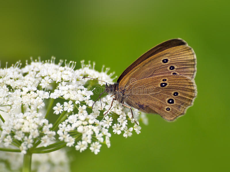 蝴蝶(Coenonympha)在白花 免版税图库摄影