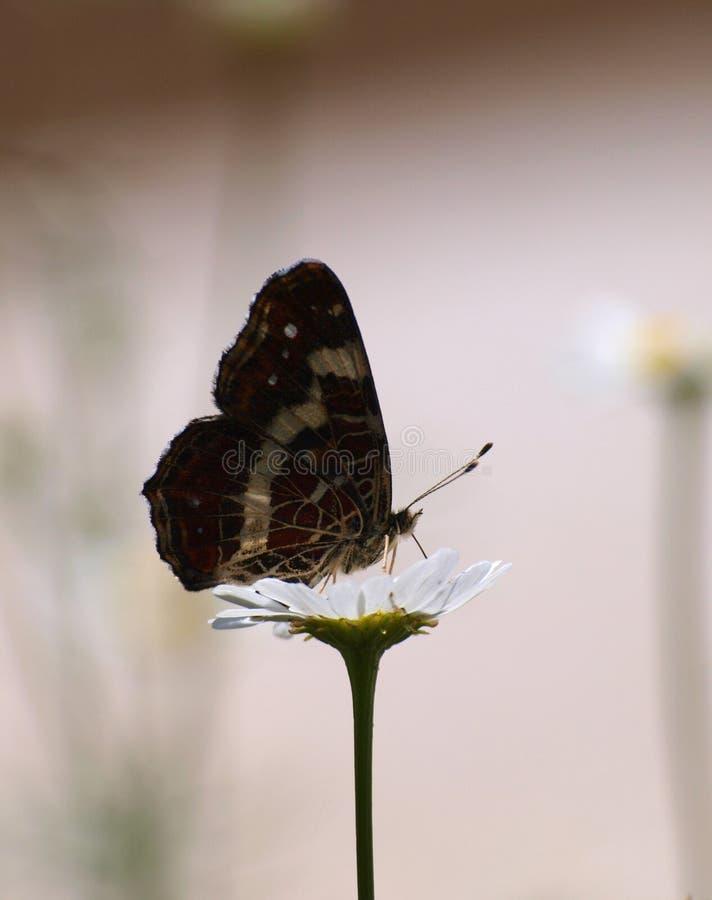 蝴蝶Araschnia levana 库存照片