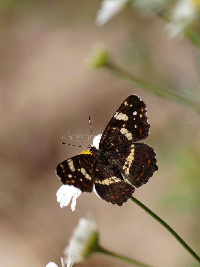 蝴蝶Araschnia levana 免版税库存照片