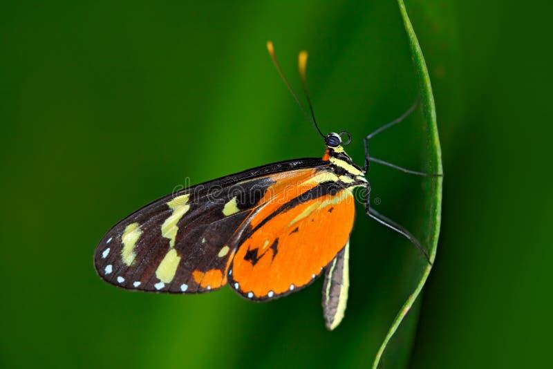 蝴蝶Heliconius Hacale zuleikas,在自然栖所 从哥斯达黎加的好的昆虫绿色森林蝴蝶的坐 免版税库存照片