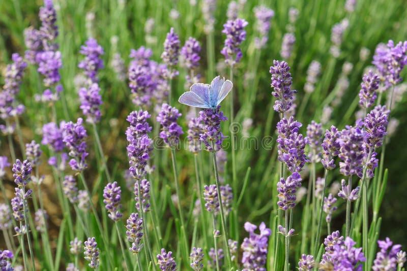 蝴蝶Polyommatus艾卡罗计拉特 Polyommatus艾卡罗计坐开花的淡紫色拉特 熏衣草属 库存照片