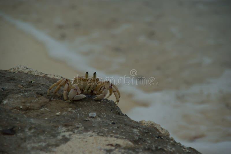 螃蟹动物海洋海甲壳动物的沙子桑给巴尔坦桑尼亚 库存照片