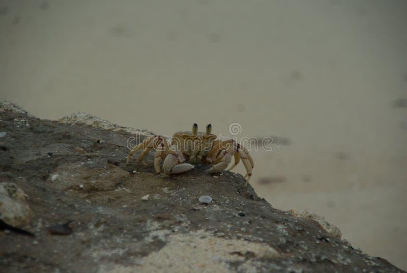 螃蟹动物海洋海甲壳动物的沙子桑给巴尔坦桑尼亚 图库摄影