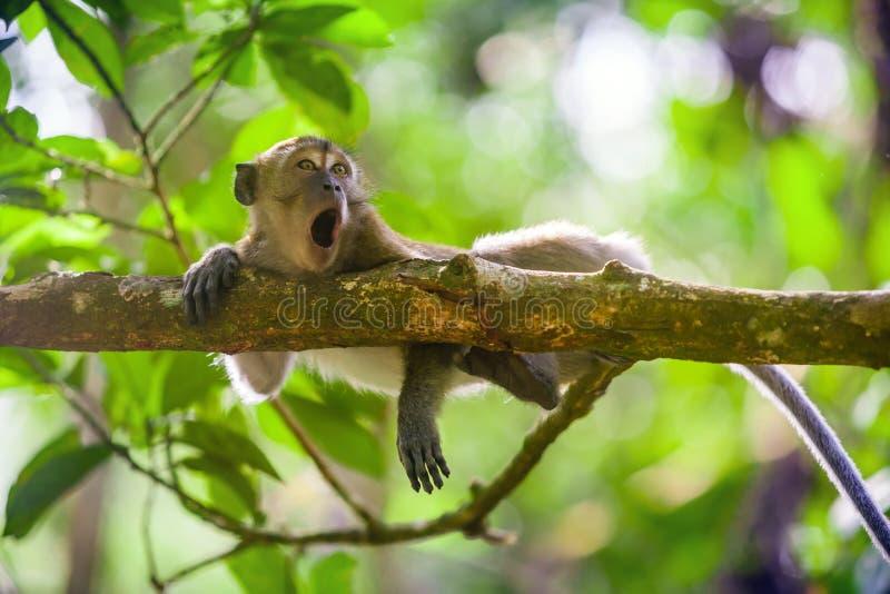 螃蟹吃短尾猿猕猴属fascicularis在古农列尤择国家公园,苏门答腊,印度尼西亚 图库摄影