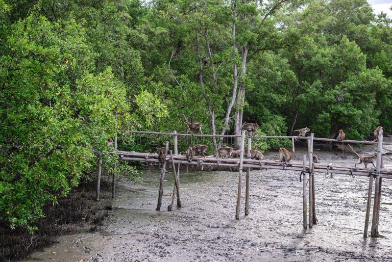 螃蟹吃短尾猿猴子滑稽在竹桥梁在美洲红树森林里 图库摄影