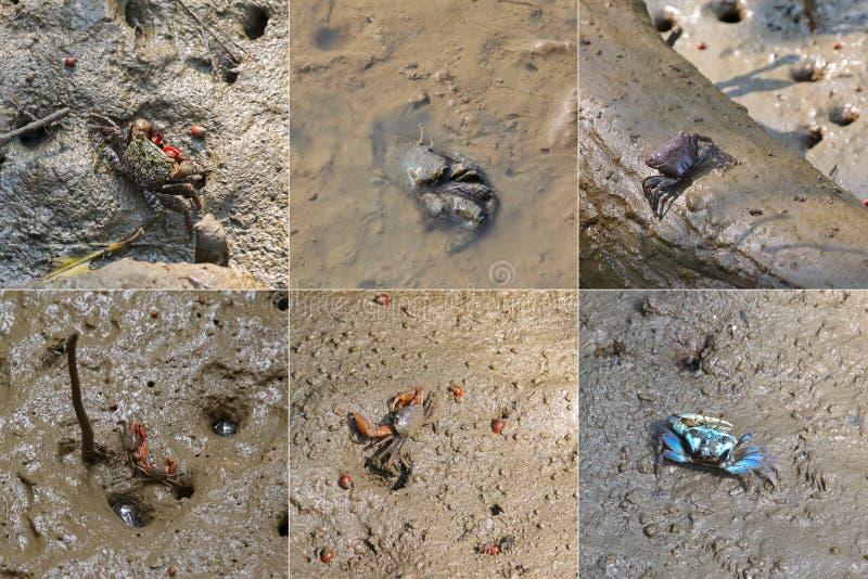 螃蟹和在前面爬行在美洲红树的湿泥泞的土地的海洋蜗牛 免版税库存照片