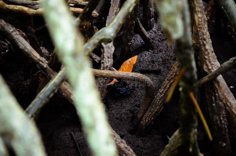 螃蟹在美洲红树森林里 免版税库存图片
