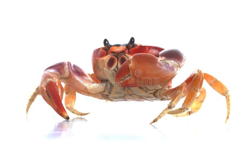 螃蟹月亮 免版税库存图片
