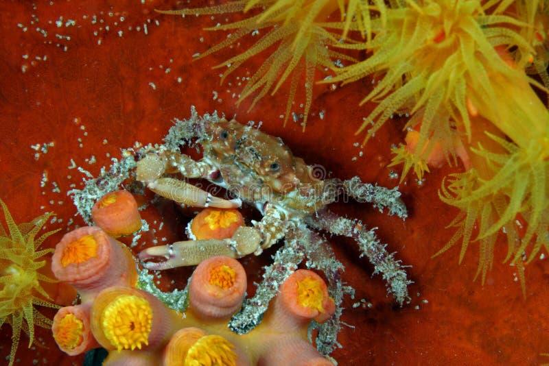 螃蟹油漆工 免版税库存图片