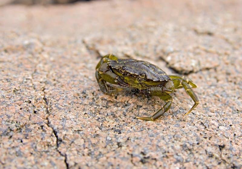 螃蟹绿色小 免版税库存图片