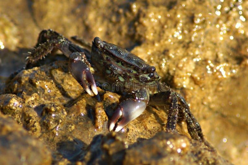 螃蟹绿色 免版税库存图片