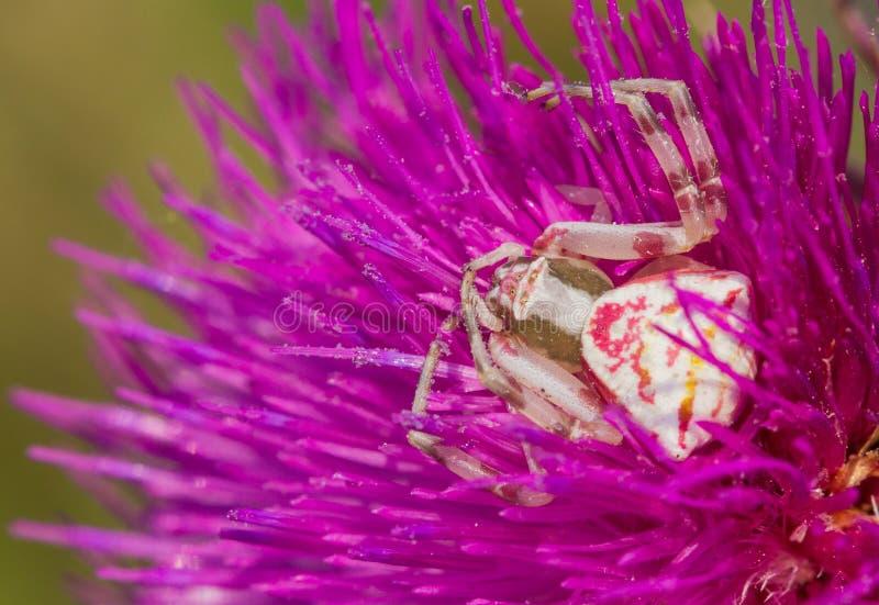 螃蟹蜘蛛在一朵紫色花的Thomisus onustus在捷克 图库摄影