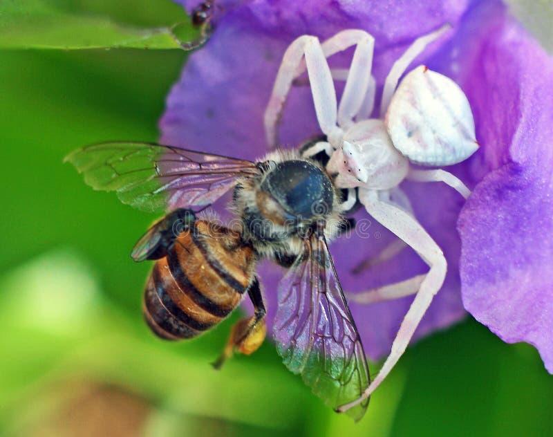螃蟹蜘蛛杀害蜜蜂 免版税库存照片
