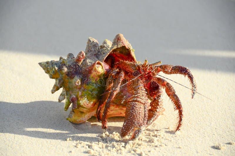 螃蟹重点隐士嘴荷兰 库存图片
