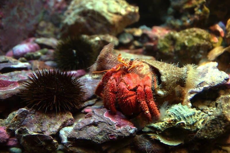 螃蟹重点隐士嘴荷兰 库存照片