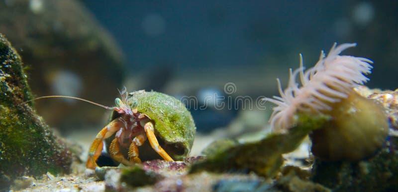 螃蟹隐士桔子 免版税库存图片
