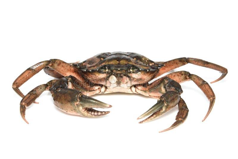 螃蟹 在白色背景隔绝的黑海甲壳动物 库存图片