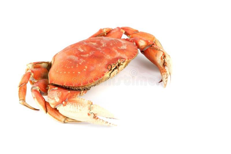 螃蟹dungeness 免版税图库摄影