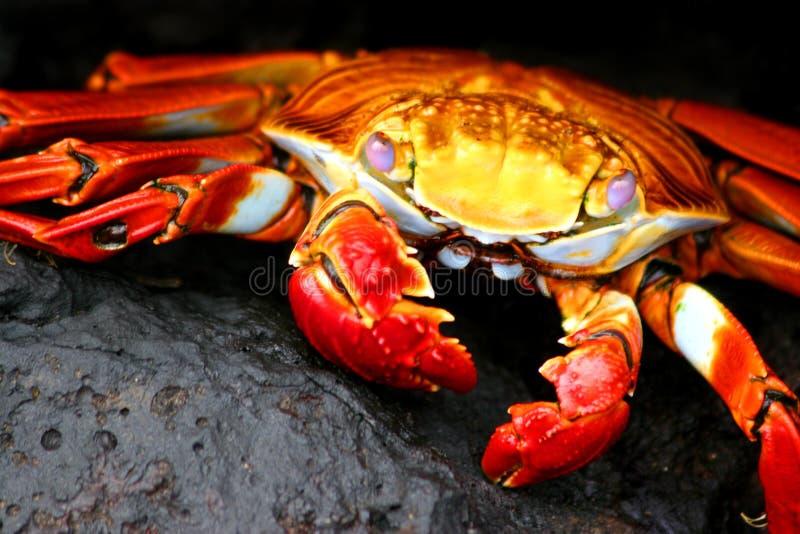 螃蟹lightfoot突围 免版税库存照片