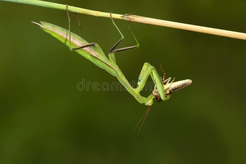 螳螂和蝗虫 免版税库存照片