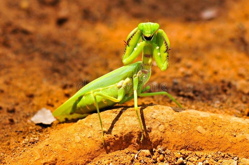 一只螳螂开始战斗。 库存图片