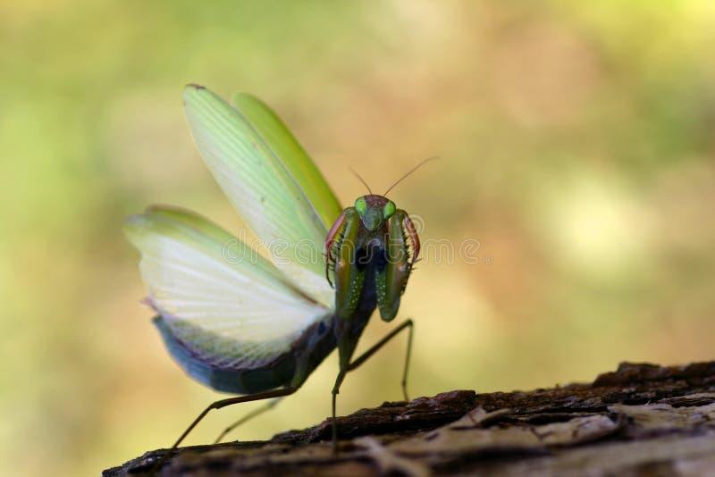 螳螂祈祷 免版税图库摄影