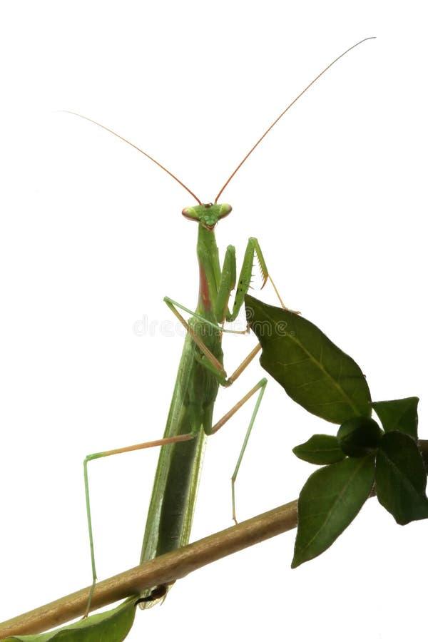 螳螂纵向祈祷 免版税库存图片
