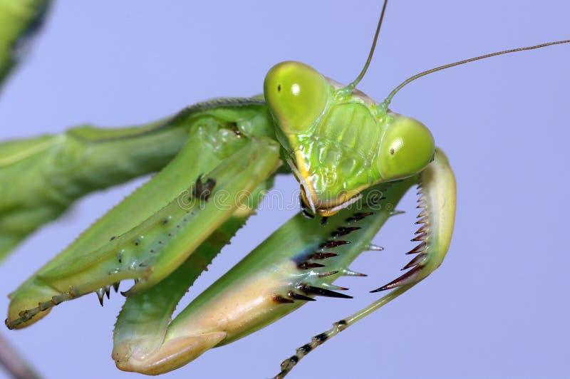 螳螂纵向祈祷 免版税库存照片