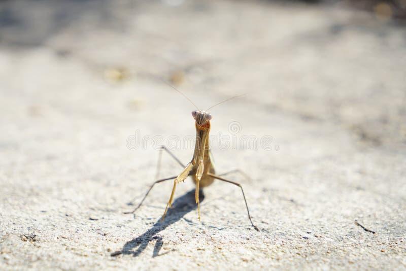 螳螂面对给争斗的敌人 库存图片