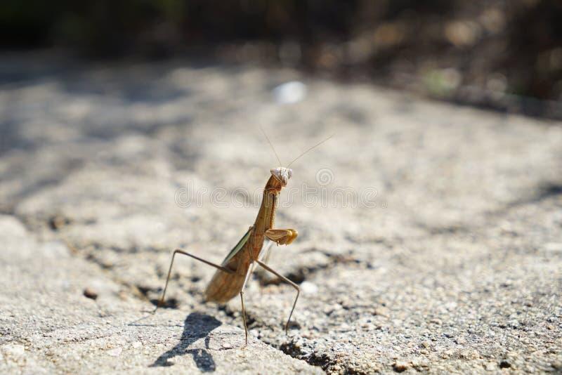 螳螂面对给敌人 免版税库存图片