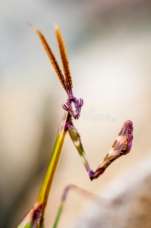 螳螂画象 库存图片