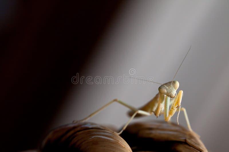 螳螂 库存照片
