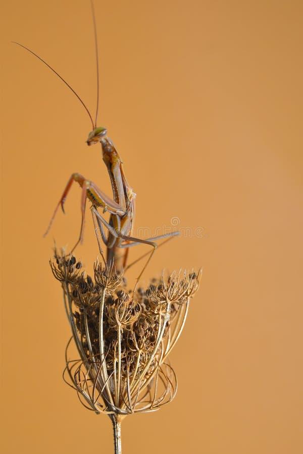 螳螂 库存图片