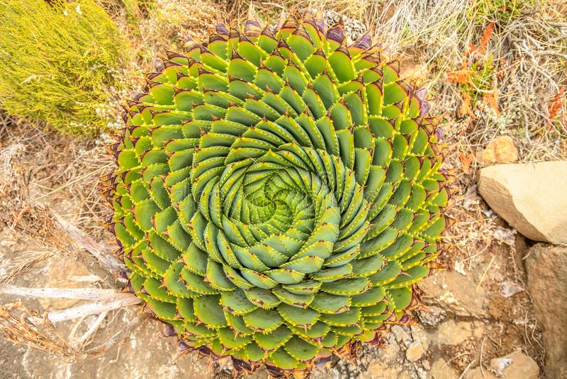 螺旋芦荟-莱索托传统植物 免版税库存照片