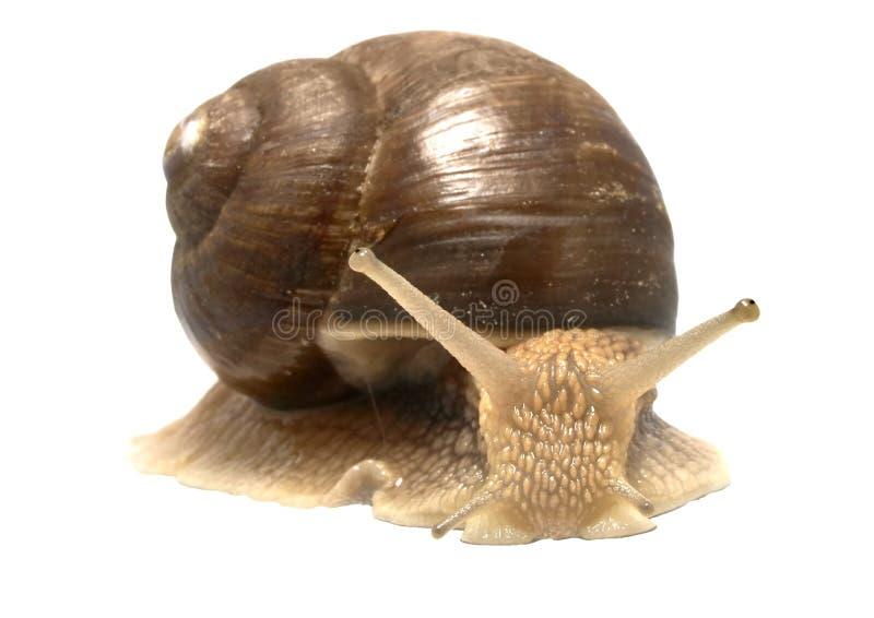 螺旋pomatia罗马蜗牛 免版税图库摄影