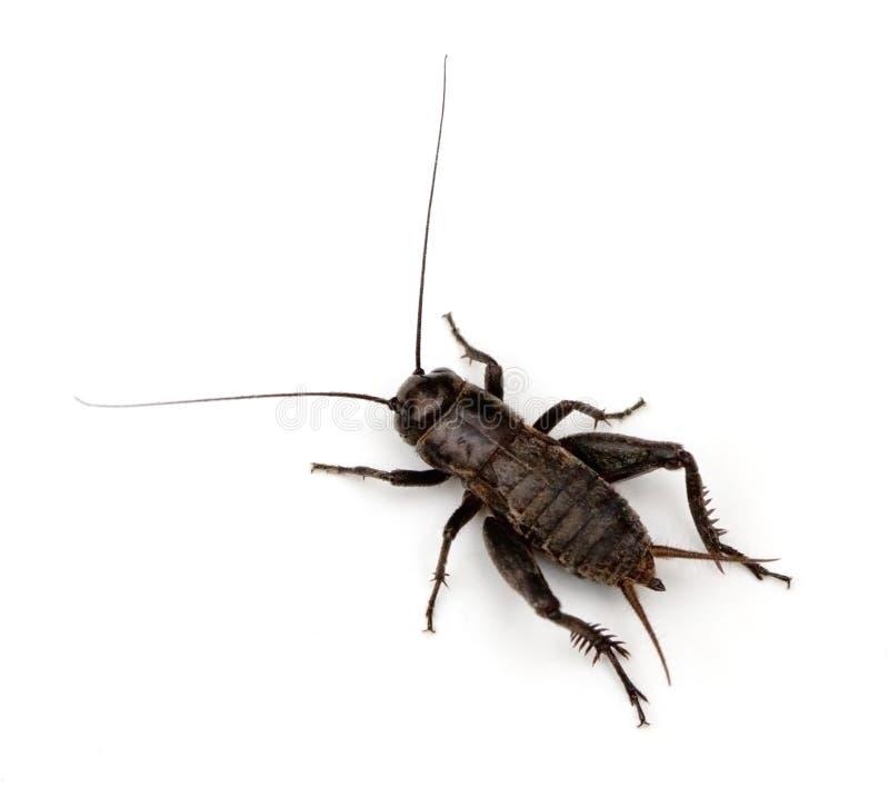 蟋蟀域 免版税库存图片