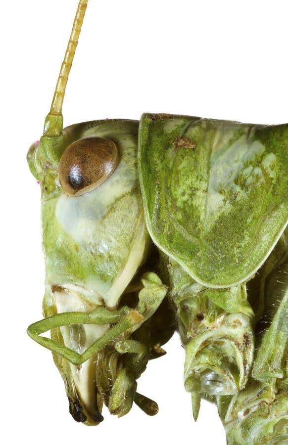 蟋蟀外形 库存照片