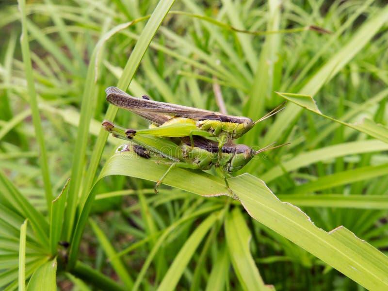 蟋蟀联接 库存图片