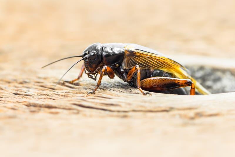 蟋蟀 免版税图库摄影