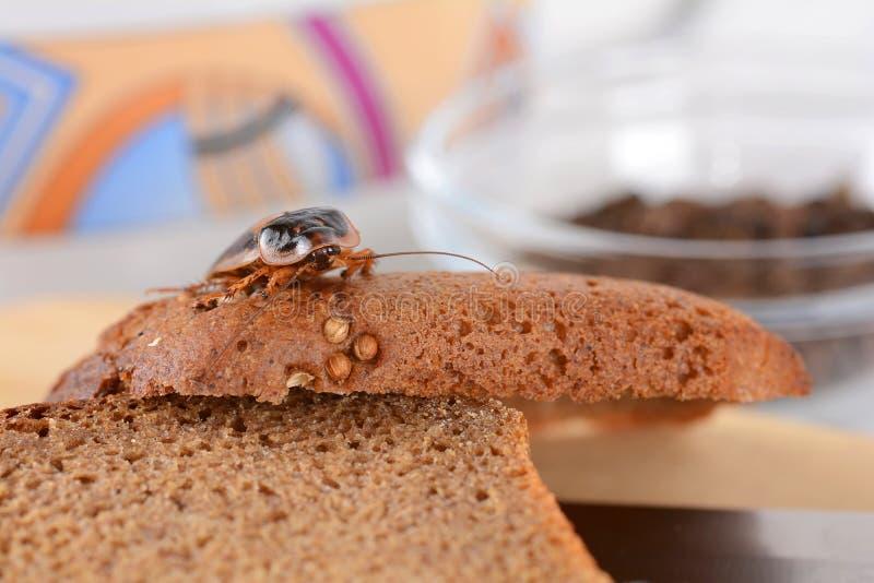 蟑螂在厨房里 由于蟑螂,问题是在房子里 吃在厨房里的蟑螂 库存图片