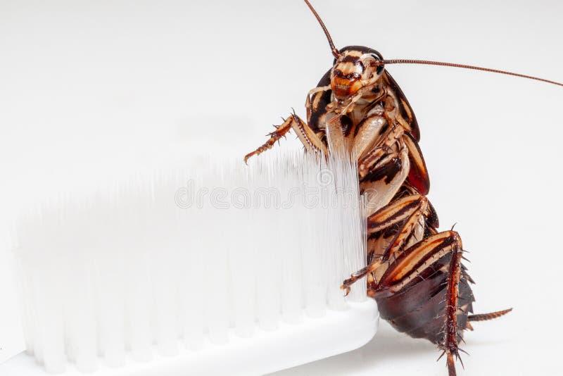 蟑螂在白色背景的牙刷 图库摄影