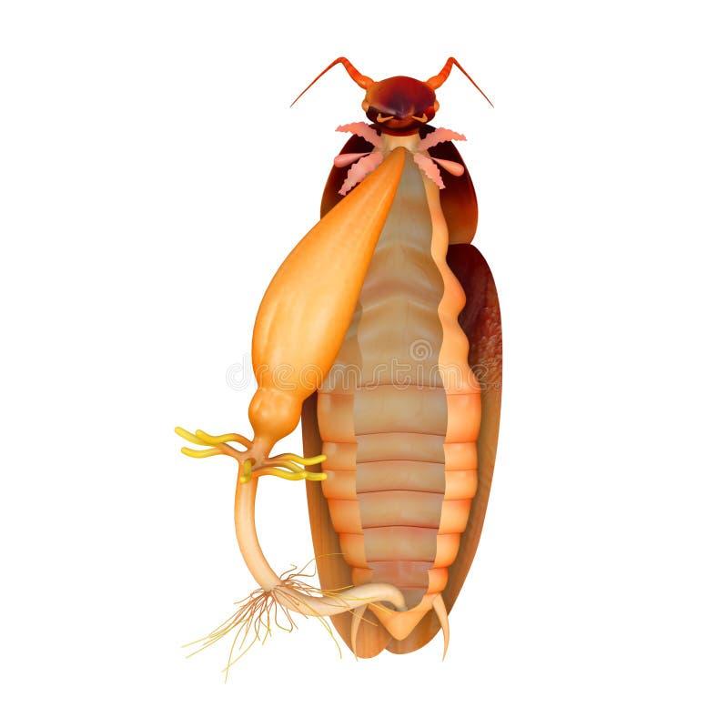 蟑螂消化系统 向量例证
