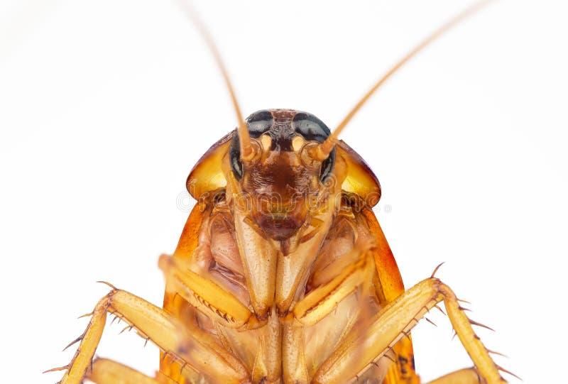 蟑螂的行动图象 图库摄影