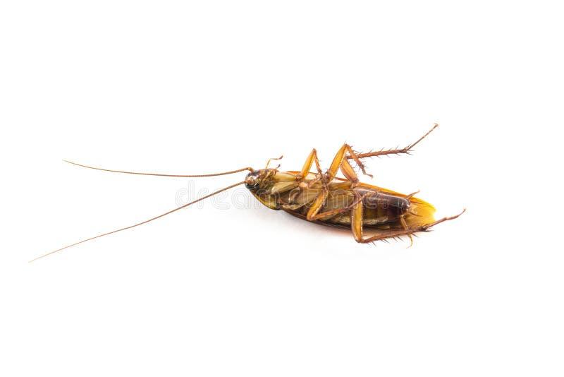 死蟑螂 免版税库存照片