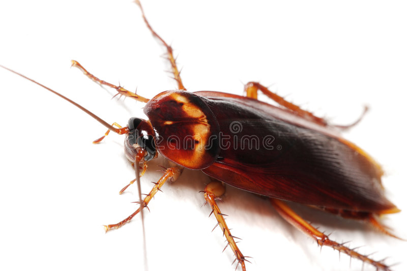 蟑螂 图库摄影