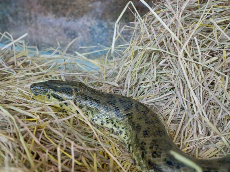 蟒蛇水蟒蛇的头,is is在南美洲找到的一个无毒蟒蛇种类 库存照片